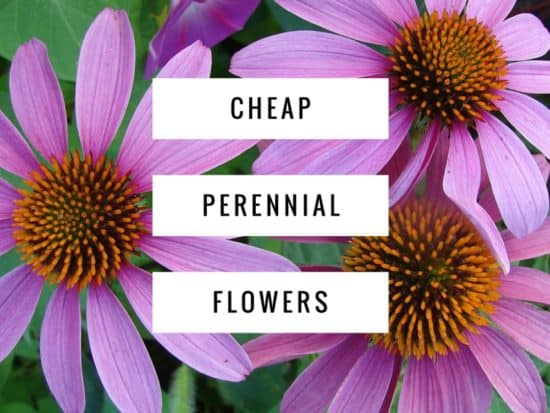 Inexpensive Perennial Flowers For Your Garden Gardening Channel