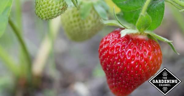 strawberries growing in garden