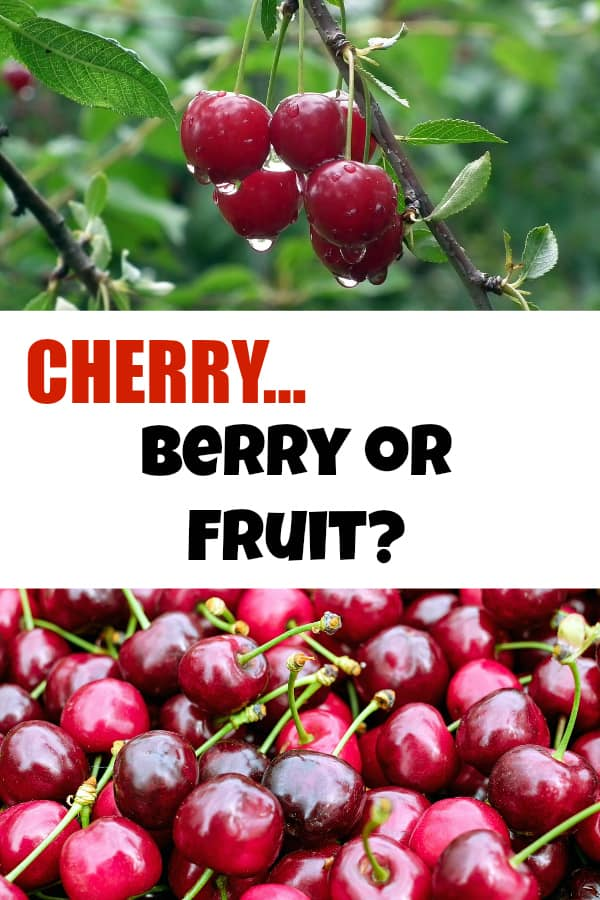 cherry tree and harvested cherry with text overlay cherry berry or fruit