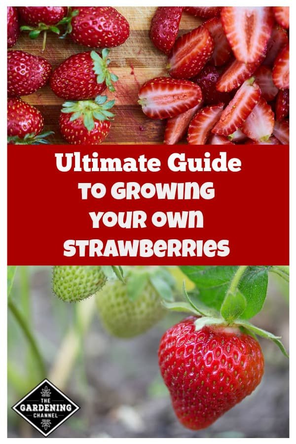 fresh cut and harvested strawberries and strawberries growing on plant with text overlay ultimate guide to growing your own strawberries