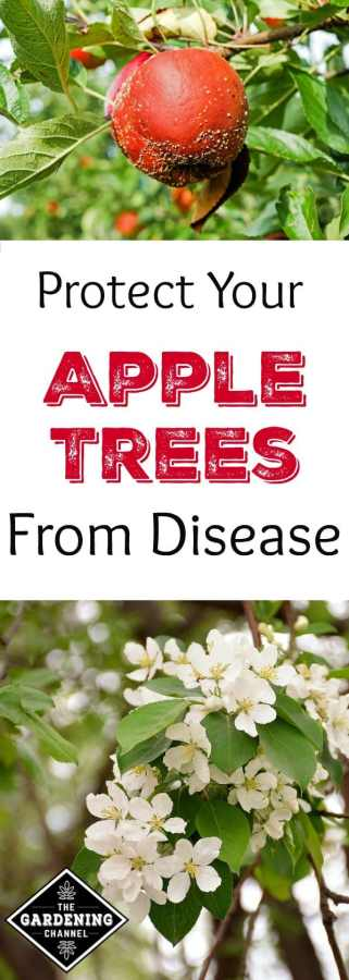 protect your apple trees