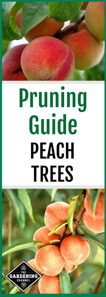Are you growing peach trees? Don't miss this pruning guide for peach trees to ensure a healthy crop of peaches.