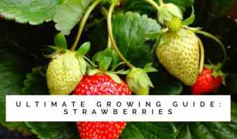 Ultimate Growing Guide For Strawberry Plants