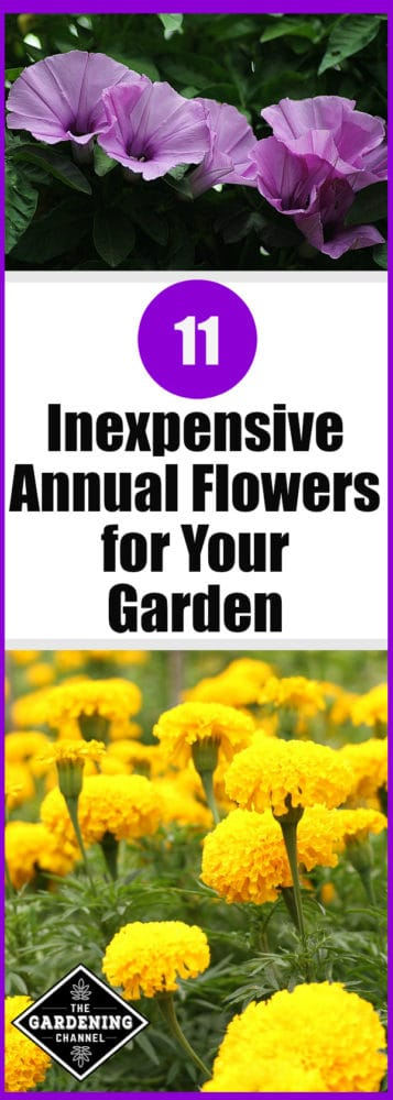 Close Up Morning Glory And Yellow Marigolds With Text Overlay 11 Inexpensive  Annual Flowers For Your