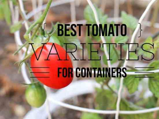 best tomato types for containers