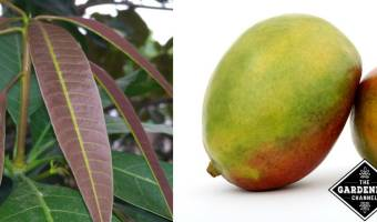 How to Grow a Mango Plant Indoors