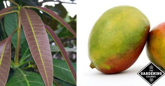 growing mangos inside