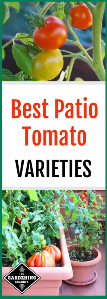 patio container tomatoes and close up of cherry tomatoes in planter with text overlay best patio tomato varieties