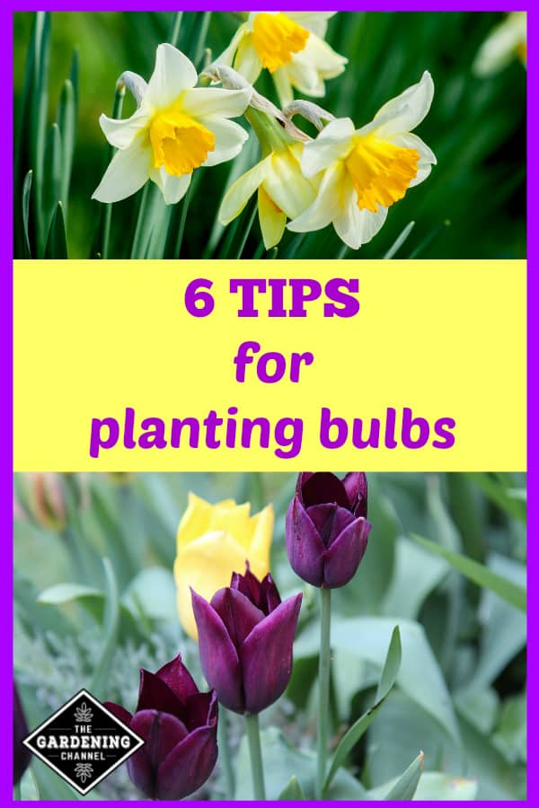 daffodils and tulips growing in garden with text overlay six tips for planting bulbs