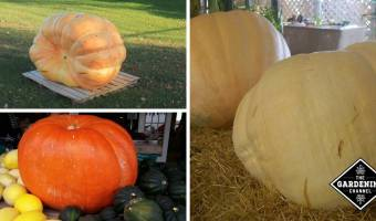 Growing Giant Pumpkins