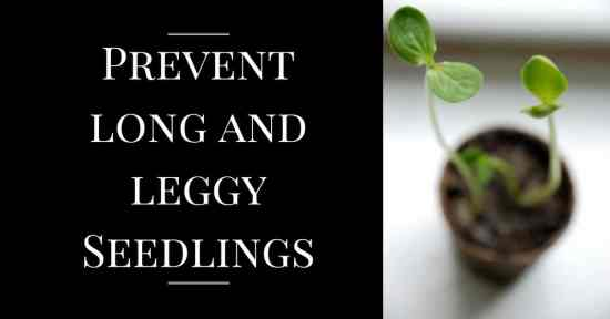 Preventing Long and Leggy Seedlings