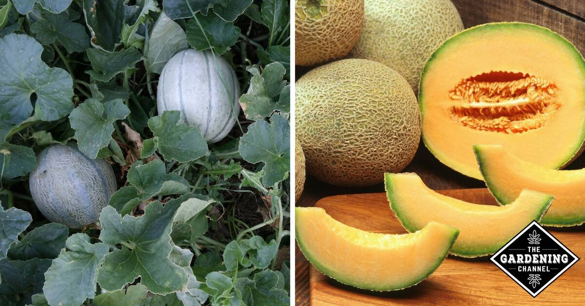 15 Gardening Tips for Growing Melons