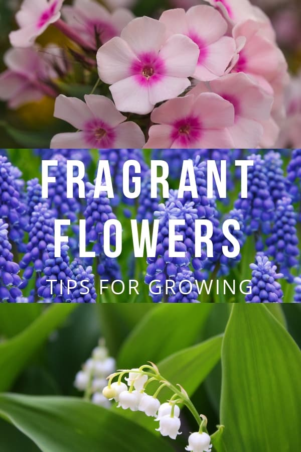 phlox grape hyacinth lily of the vallet with text overlay fragrant flowers tips for growing