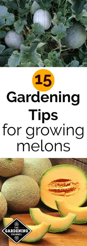 cantaloupe growing in garden cataloupe cut in kitchen with text overlay 15 gardening tips for growing melons