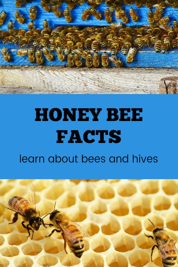 bee hive and honeycomb with bees with text overlay honey bee facts learn about bees and hives