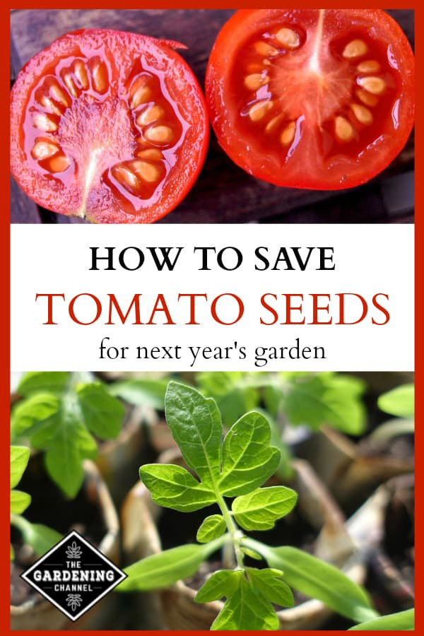 tomato sliced with seeds exposed and tomato seedlings with text overlay how to save tomato seeds for next years garden