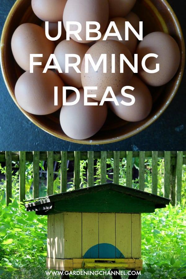 backyard chicken eggs and backyard beehive with text overlay urban farming ideas