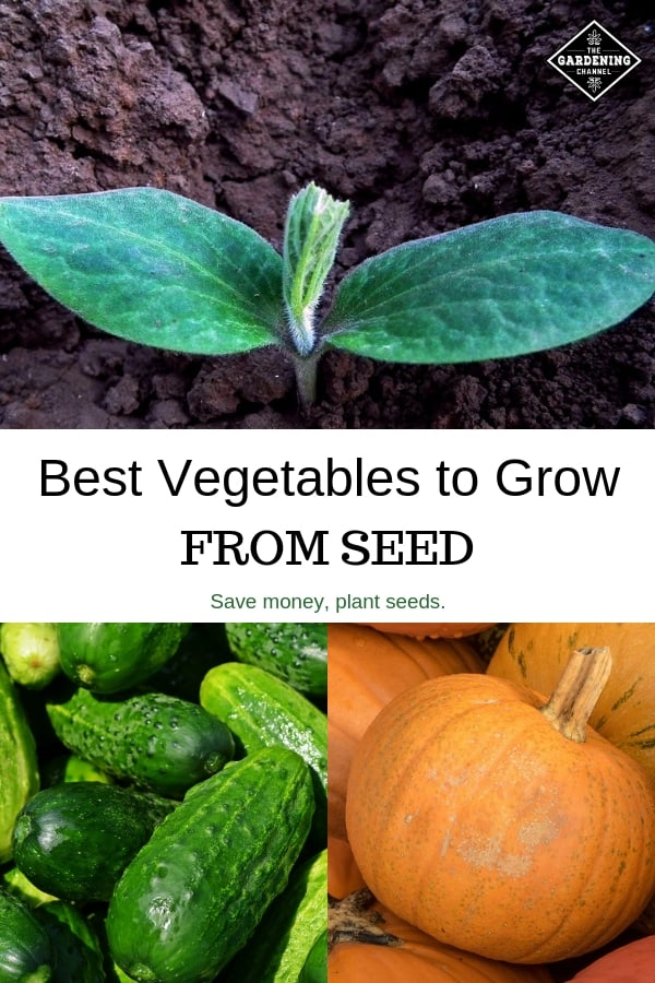 pumpkin seedling cucumbers pumpkins with text overlay best vegetables to grow from seed save money, plant seeds