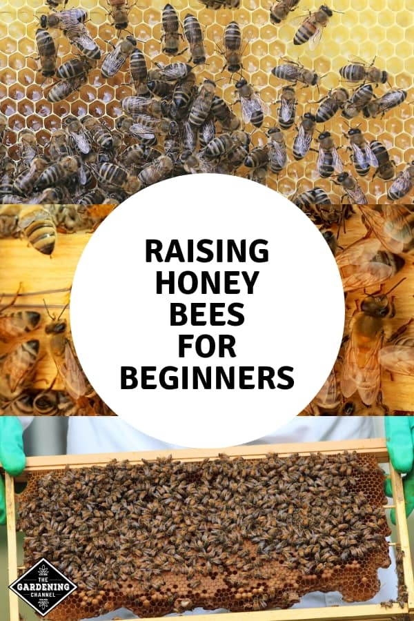 honeycomb bee hive frame with bees and beekeeper with text overlay raising honey bees for beginners