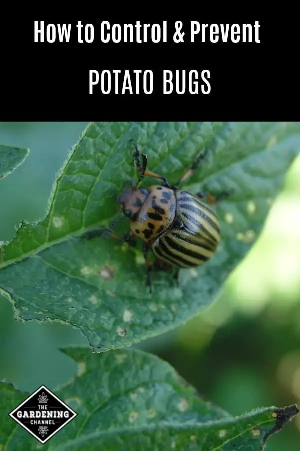 potato bug on leaf with text overlay how to control and prevent potato bugs