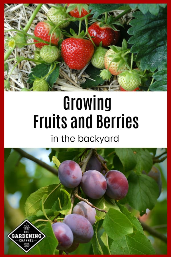 strawberries growing and plum trees with ripe plums with text overlay growing fruits and berries in the backyard