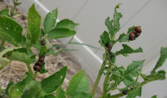 Potato Bugs: How to Prevent and Control