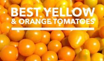 Yellow Tomatoes and Orange Tomatoes: Best Varieties