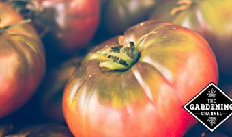 heirloom growing guide cherokee purple tomatoes