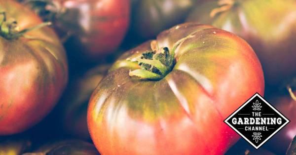 heirloom growing guide cherokee purple tomatoes