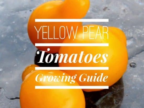 Guide to Growing Yellow Pear Tomatoes