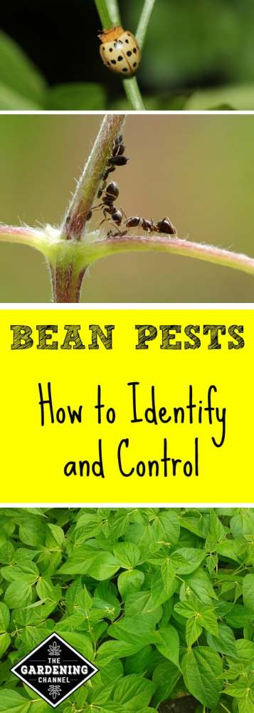 mexican bean beetle aphids bean plants with text overlay bean pests how to control and identify