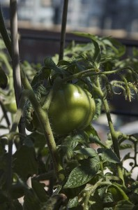 Growing Celebrity Tomatoes