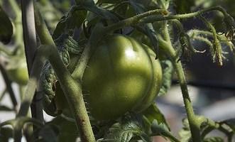 Growing Celebrity Tomatoes