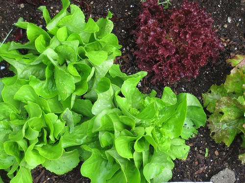 Preventing Bolted Lettuce