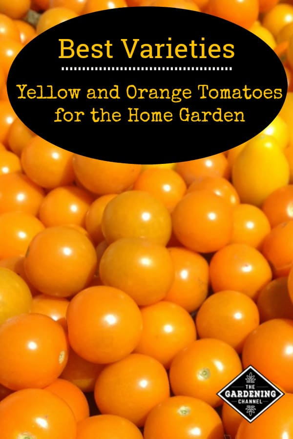 yellow and orange harvested tomatoes with text overlay best varieties yellow and orange tomatoes for the home garden