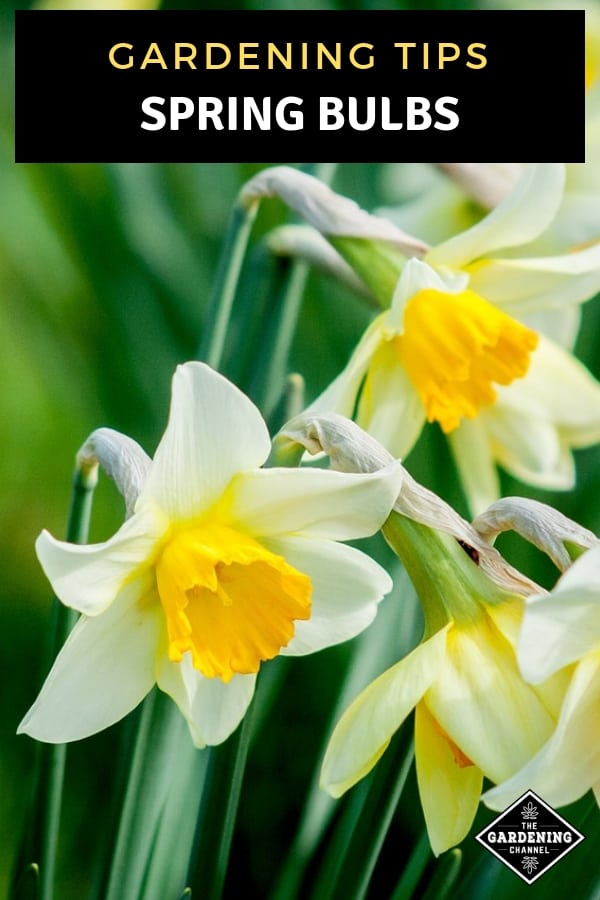 daffodils blooming with text overlay gardening tips spring bulbs