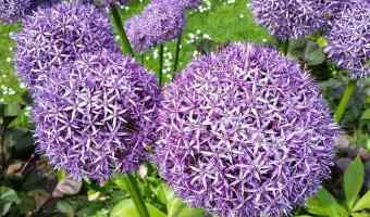 How to Grow Fall Flowering Bulbs