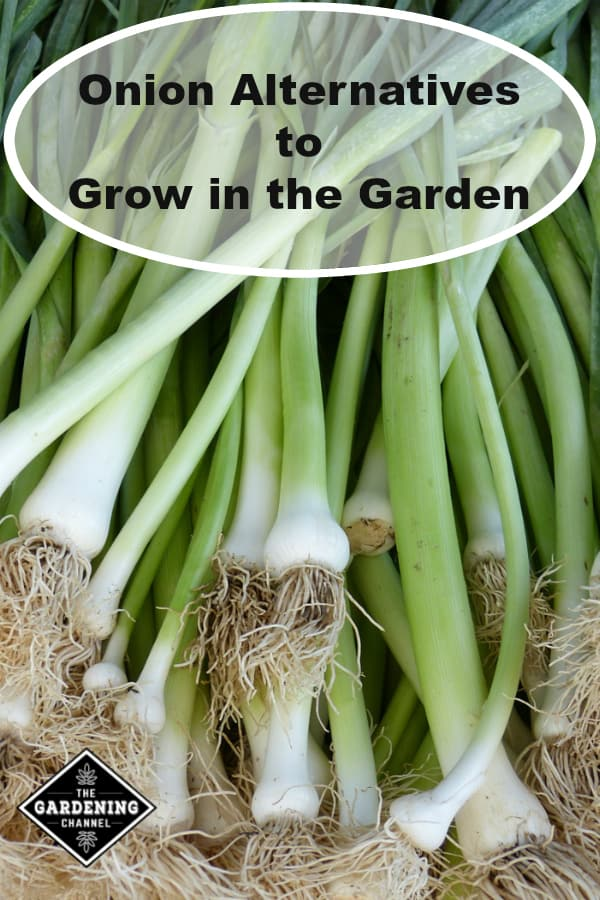 harvested leeks with text overlay Onion Alternatives to Grow in the Garden