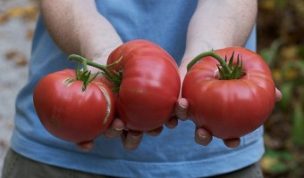 Growing Brandywine Tomatoes