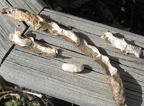 Collecting Seeds from Seed Pods