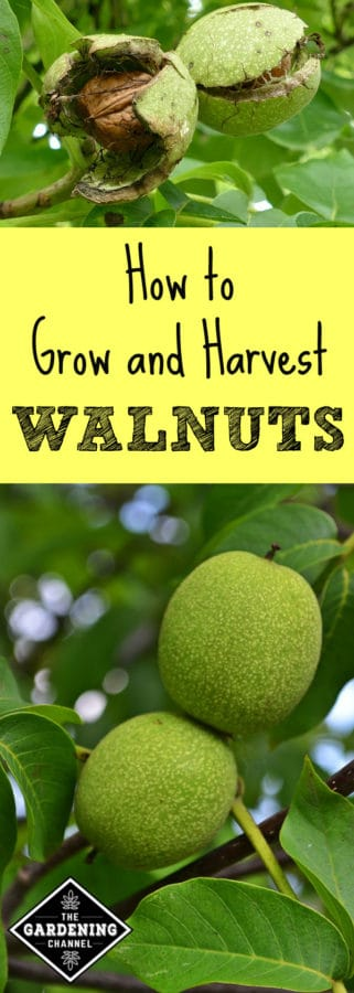 growing your own walnuts