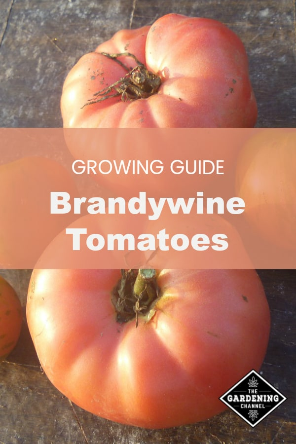 harvested brandywine tomatoes with text overlay growing guide brandywine tomatoes