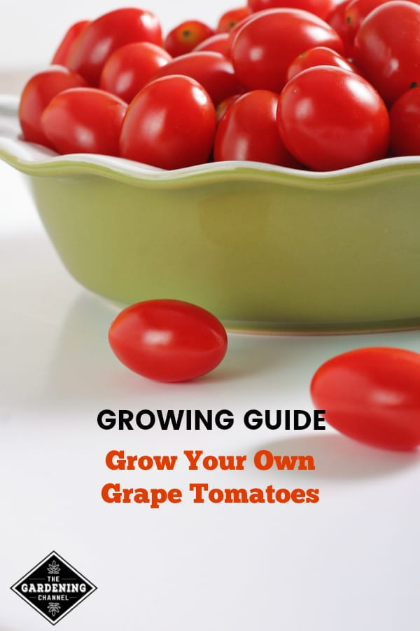 grape tomatoes in pie dish with text overlay growing guide grow your own grape tomatoes