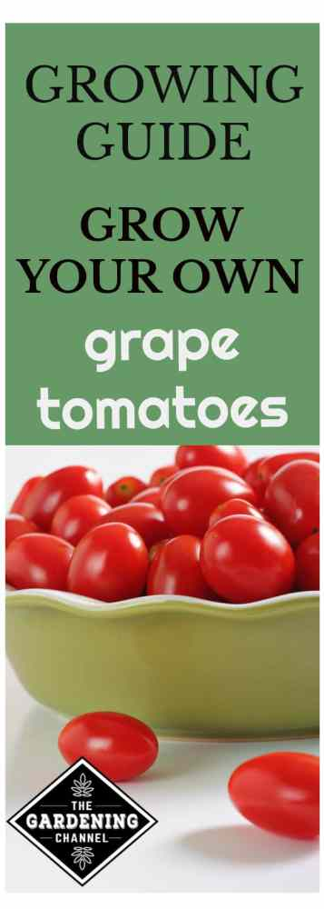 grape tomatoes in a pie dish with text overlay growing guide grow your own grape tomatoes