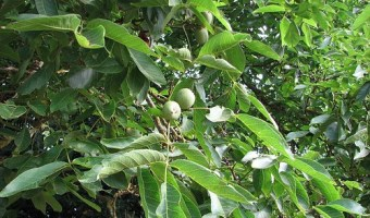 Growing Walnuts