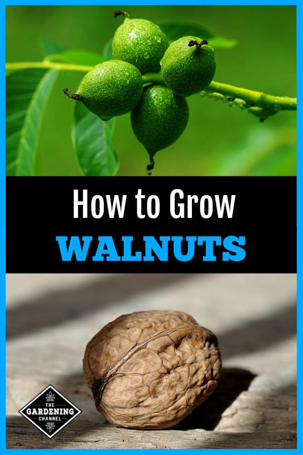 walnuts growing and harvested walnut with overlay text how to grow walnuts