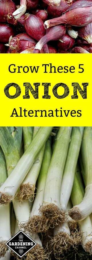 five onion alternatives to grow in vegetable garden