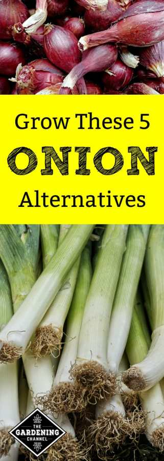 five onion alternatives to grow in vegetable garden