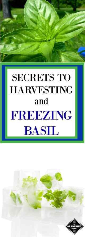 Secrets to harvesting and freezing basil