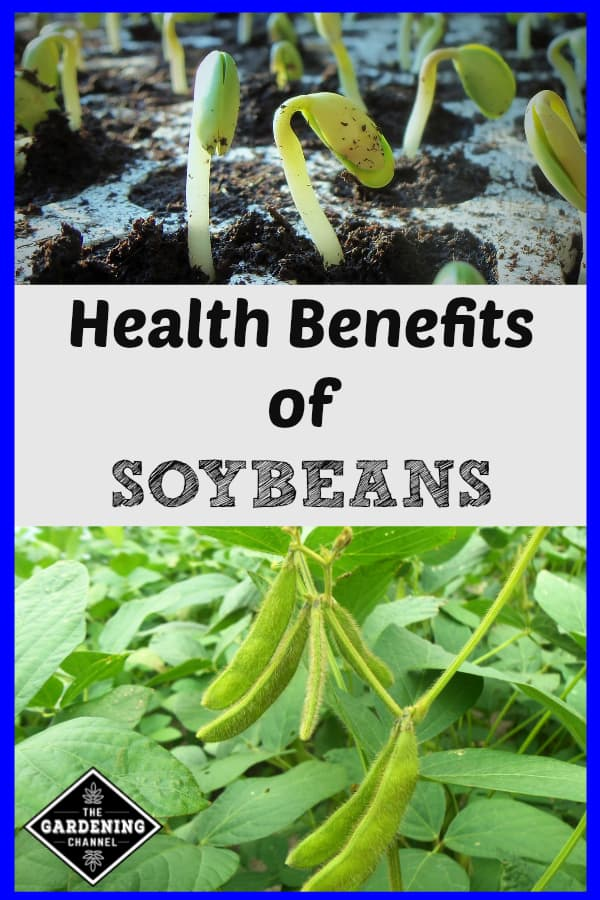 soybean seedlings and soybeans on plant with text overlay health benefits of soybeans